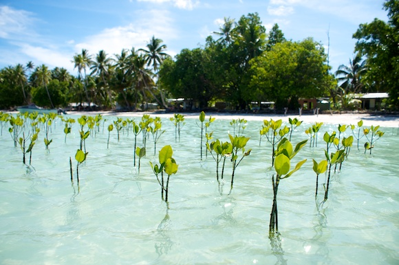Mangrove plantation in Tuvalu (South Pacific)