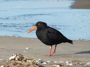 oyster-catcher-1158165_640